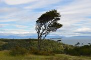 A tree shaped by the almost continuous westerly winds...!