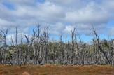 Nothofagus trees at the bog edge...
