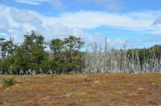 Nothofagus trees at the bog edge...