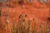 Rostkovia magellanica