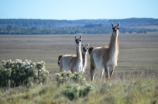 Some local guanaco...